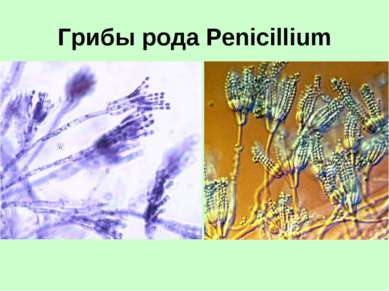 Грибы рода Penicillium