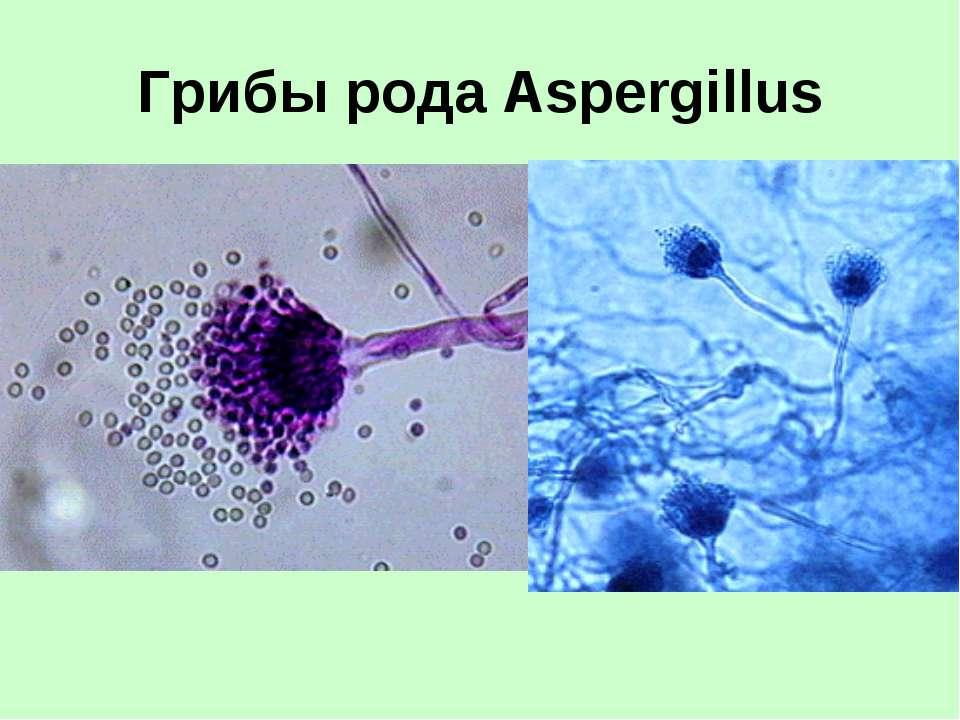 Грибы рода Aspergillus
