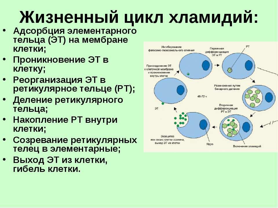 Жизненный цикл хламидий: Адсорбция элементарного тельца (ЭТ) на мембране клет...