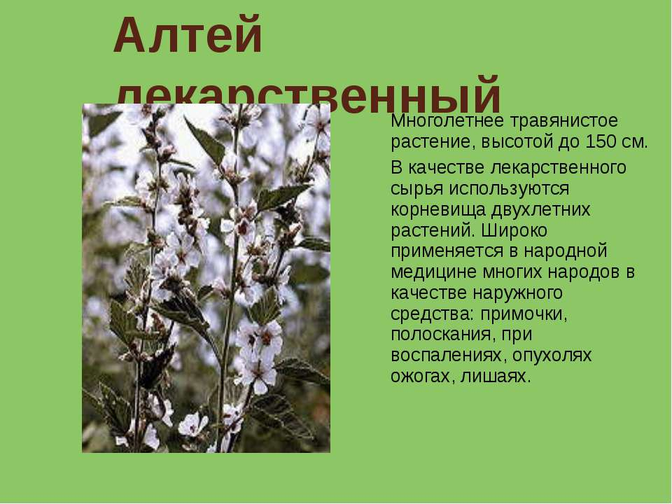 Алтей лекарственный Многолетнее травянистое растение, высотой до 150 см. В ка...