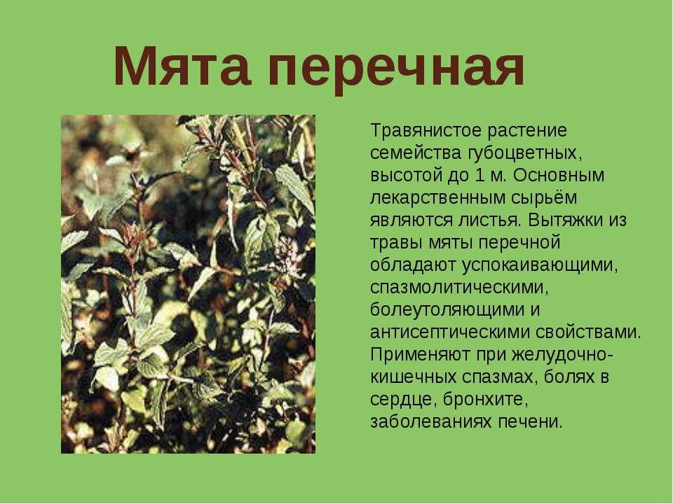Мята перечная Травянистое растение семейства губоцветных, высотой до 1 м. Осн...