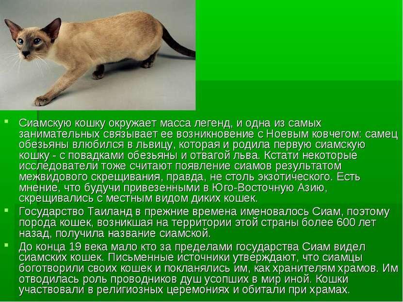 Сиамскую кошку окружает масса легенд, и одна из самых занимательных связывает...