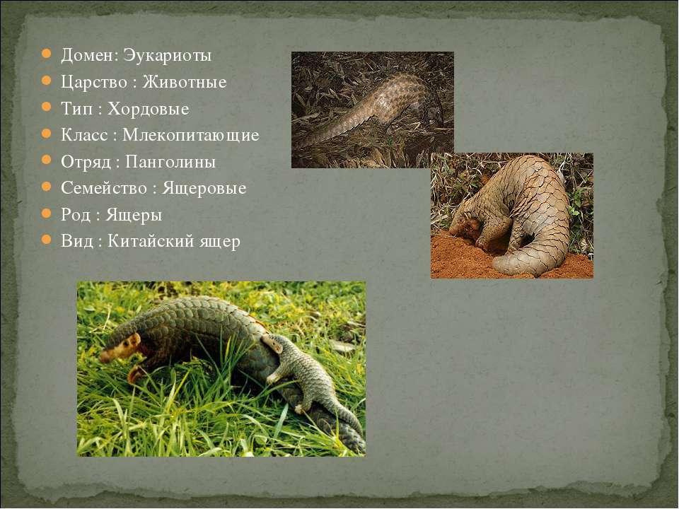 Домен: Эукариоты Царство : Животные Тип : Хордовые Класс : Млекопитающие Отря...