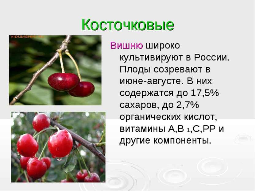 Косточковые Вишню широко культивируют в России. Плоды созревают в июне-август...