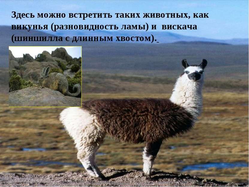 Здесь можно встретить таких животных, как викунья (разновидность ламы) и виск...