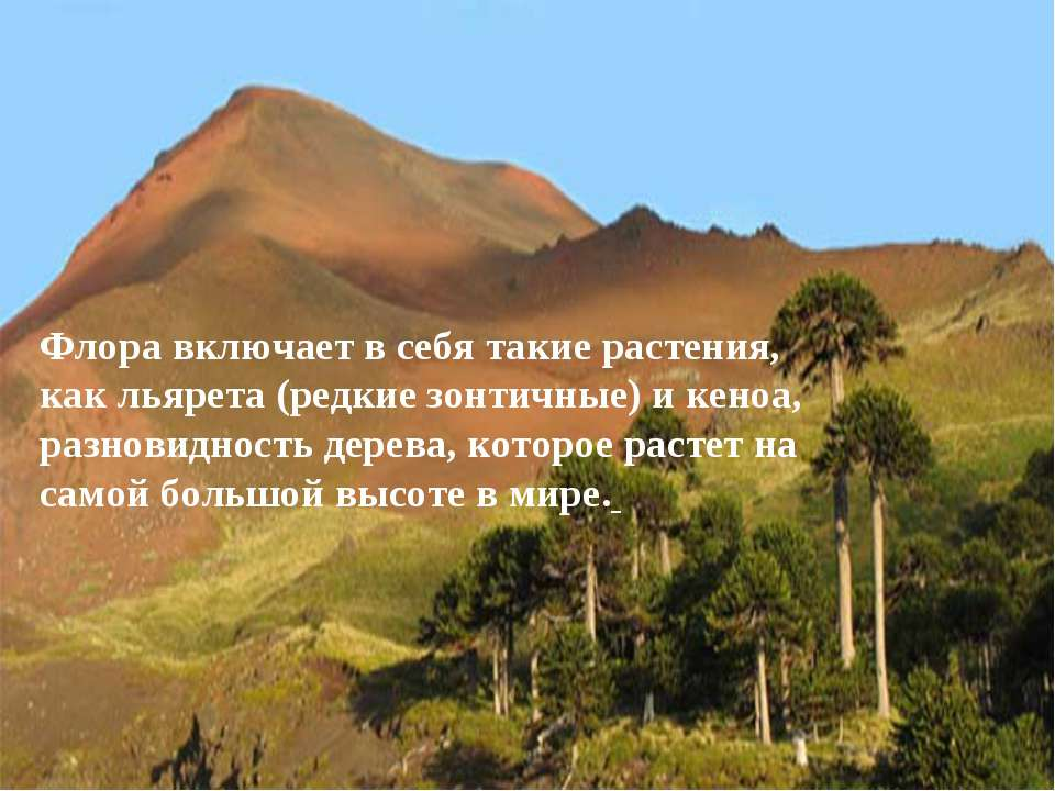 Флора включает в себя такие растения, как льярета (редкие зонтичные) и кеноа,...