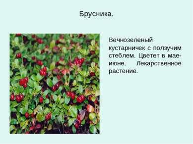 Брусника. Вечнозеленый кустарничек с ползучим стеблем. Цветет в мае-июне. Лек...