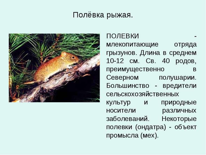 Полёвка рыжая. ПОЛЕВКИ - млекопитающие отряда грызунов. Длина в среднем 10-12...