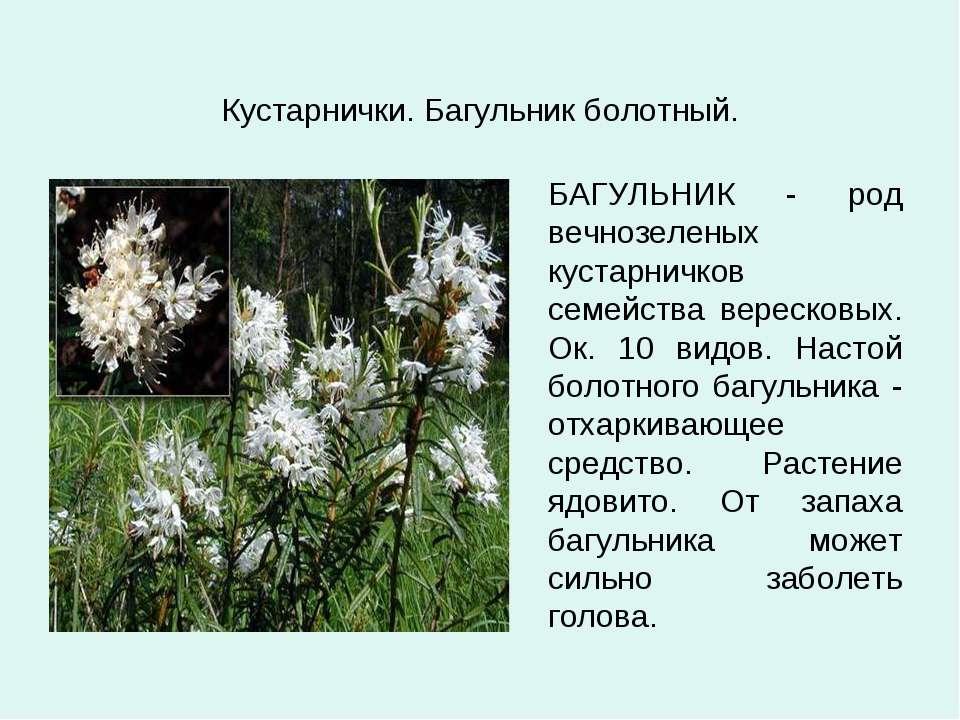 Кустарнички. Багульник болотный. БАГУЛЬНИК - род вечнозеленых кустарничков се...