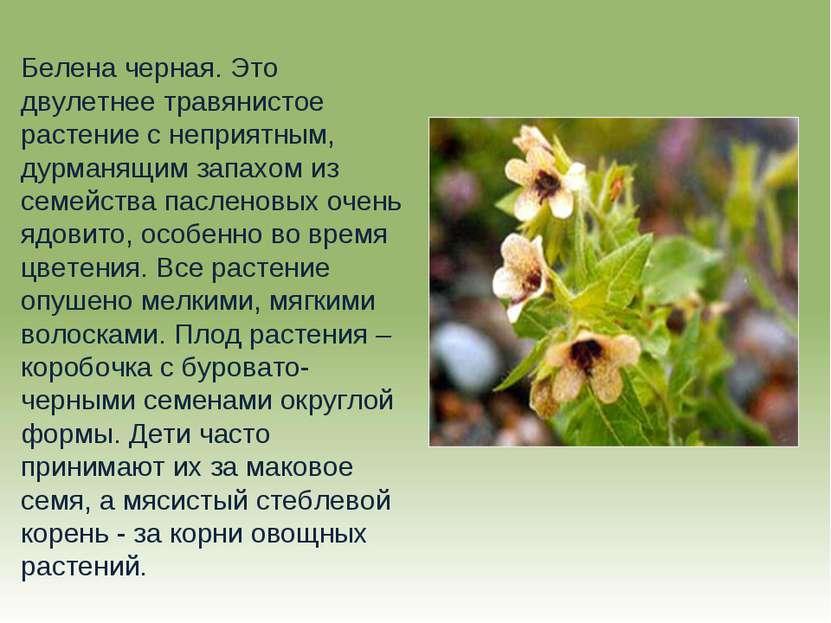 Белена черная. Это двулетнее травянистое растение с неприятным, дурманящим за...