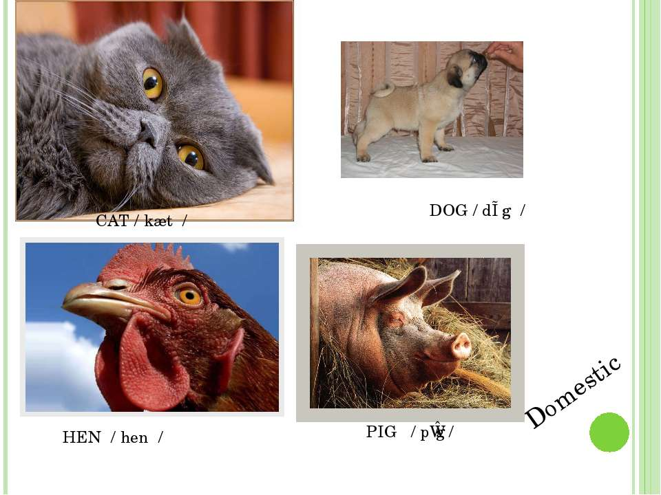Domestic CAT / kæt / DOG / dɒg / HEN / hen / PIG / pɪg /
