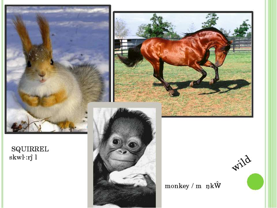 SQUIRREL skwɜ:rəl monkey / mʌŋkɪ / wild