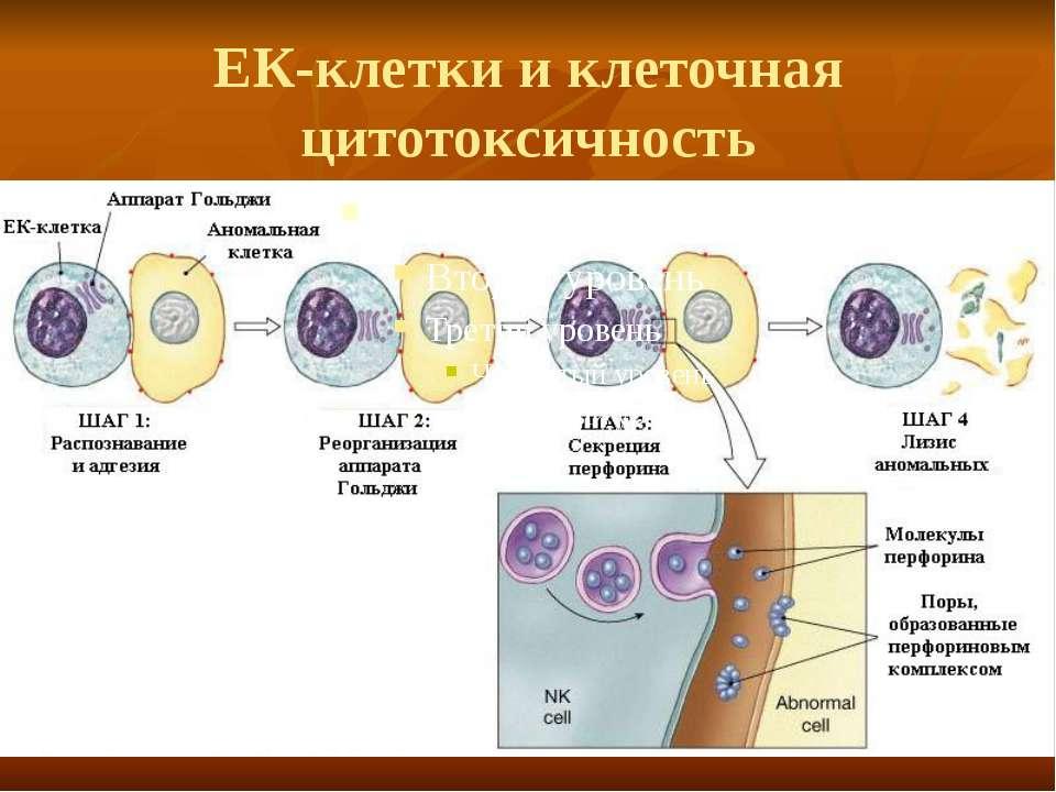 ЕК-клетки и клеточная цитотоксичность