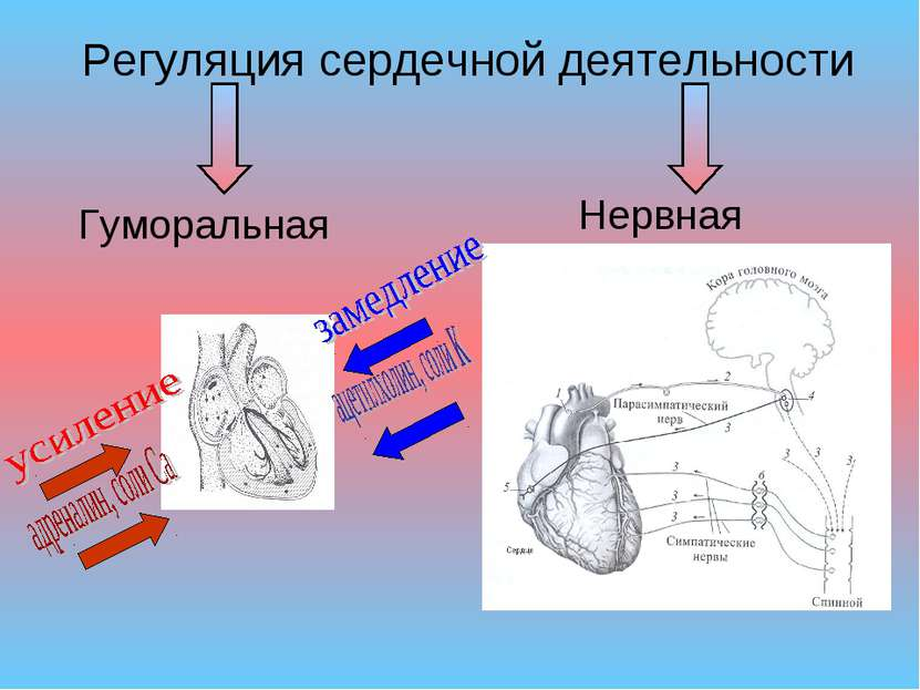 Регуляция сердечной деятельности Гуморальная Нервная