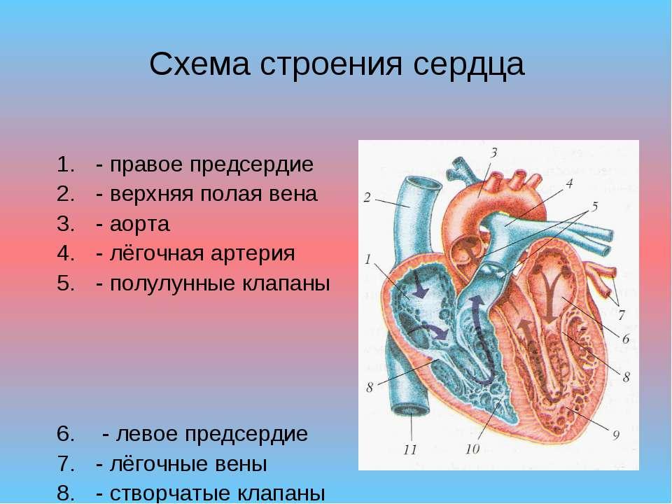 Схема строения сердца - правое предсердие - верхняя полая вена - аорта - лёго...