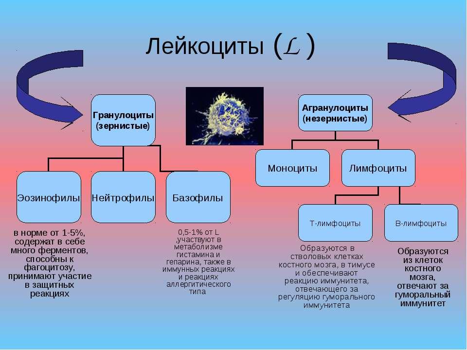 Лейкоциты (L ) Образуются в стволовых клетках костного мозга, в тимусе и обес...