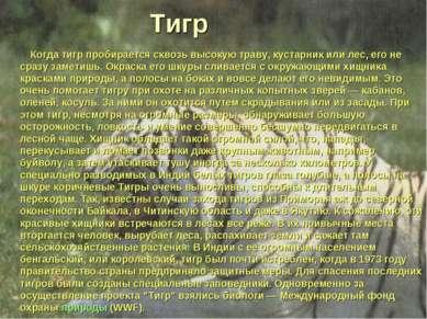 Тигр Когда тигр пробирается сквозь высокую траву, кустарник или лес, его не с...