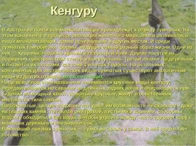 Кенгуру В Австралии почти все млекопитающие принадлежат к отряду сумчатых. На...