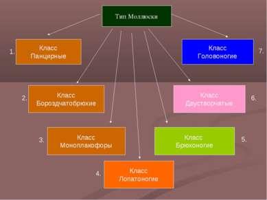 Тип Моллюски Класс Панцирные Класс Бороздчатобрюхие Класс Лопатоногие Класс Д...