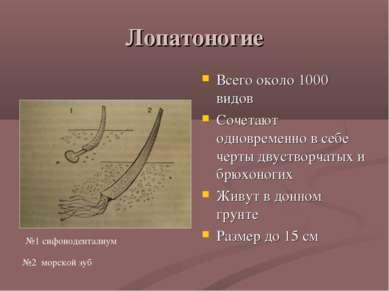 Лопатоногие Всего около 1000 видов Сочетают одновременно в себе черты двуство...