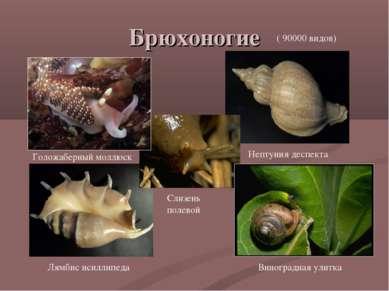 Брюхоногие Голожаберный моллюск Виноградная улитка Нептуния деспекта Лямбис и...