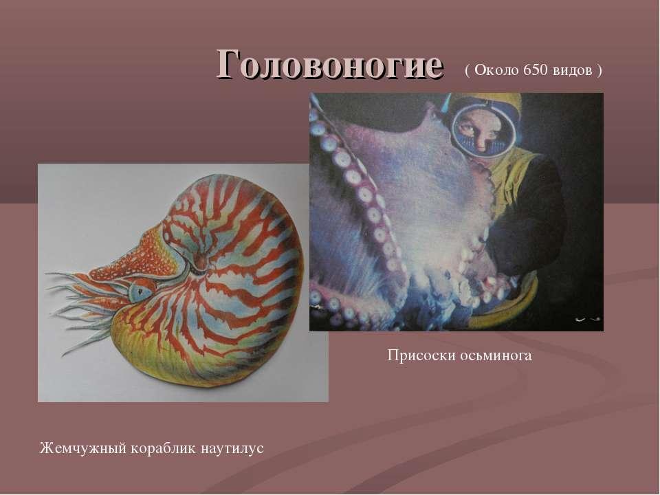 Головоногие ( Около 650 видов ) Жемчужный кораблик наутилус Присоски осьминога