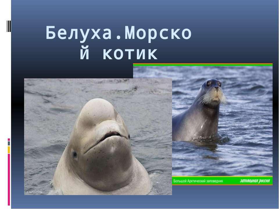 Белуха.Морской котик