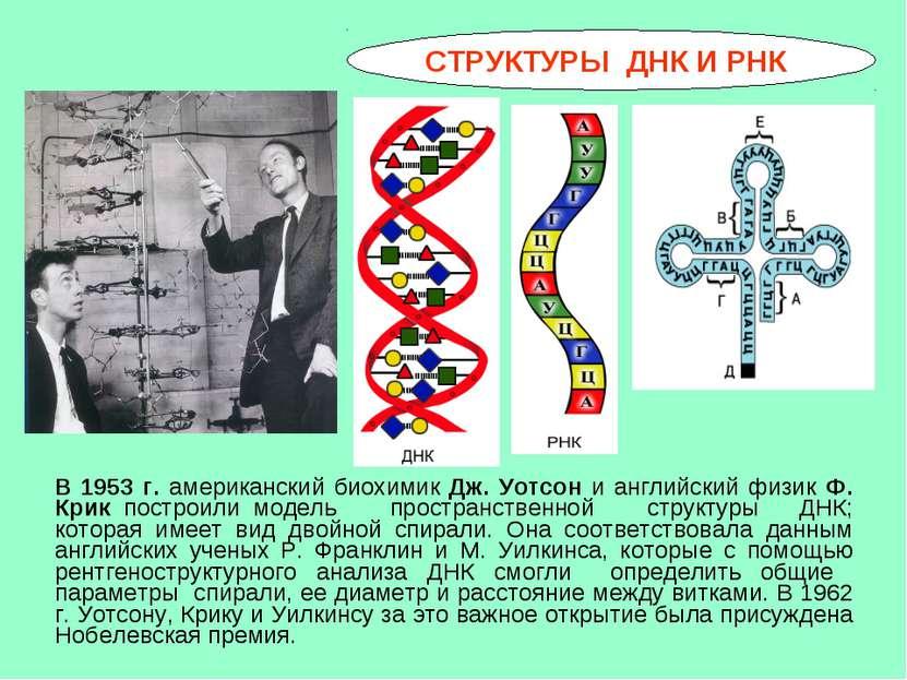 СТРУКТУРЫ ДНК И РНК В 1953 г. американский биохимик Дж. Уотсон и английский ф...