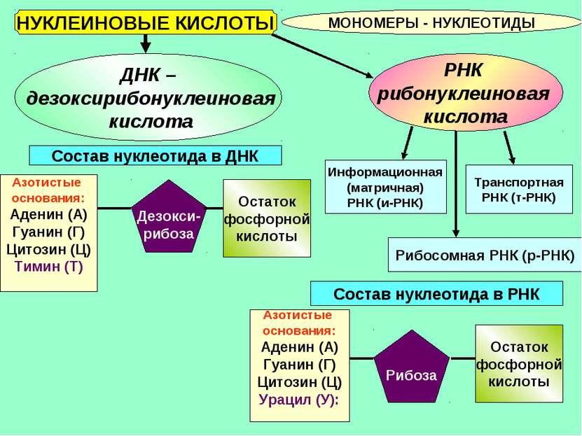 НУКЛЕИНОВЫЕ КИСЛОТЫ МОНОМЕРЫ - НУКЛЕОТИДЫ ДНК – дезоксирибонуклеиновая кислот...