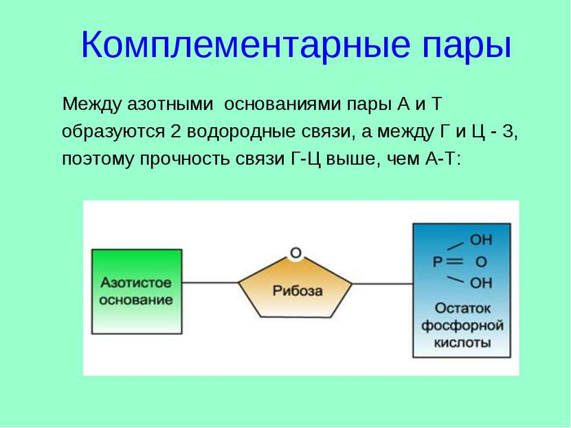 Между азотными основаниями пары А и Т образуются 2 водородные связи, а между ...