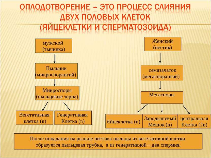 мужской (тычинка) Мегаспоры Вегетативная клетка (n) семязачаток (мегаспоранги...