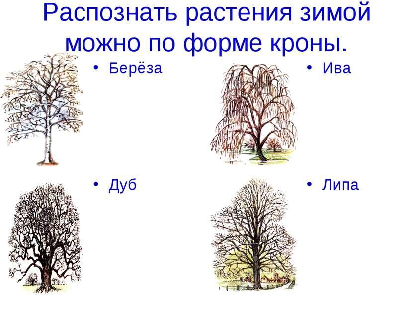 Распознать растения зимой можно по форме кроны. Берёза Дуб Ива Липа