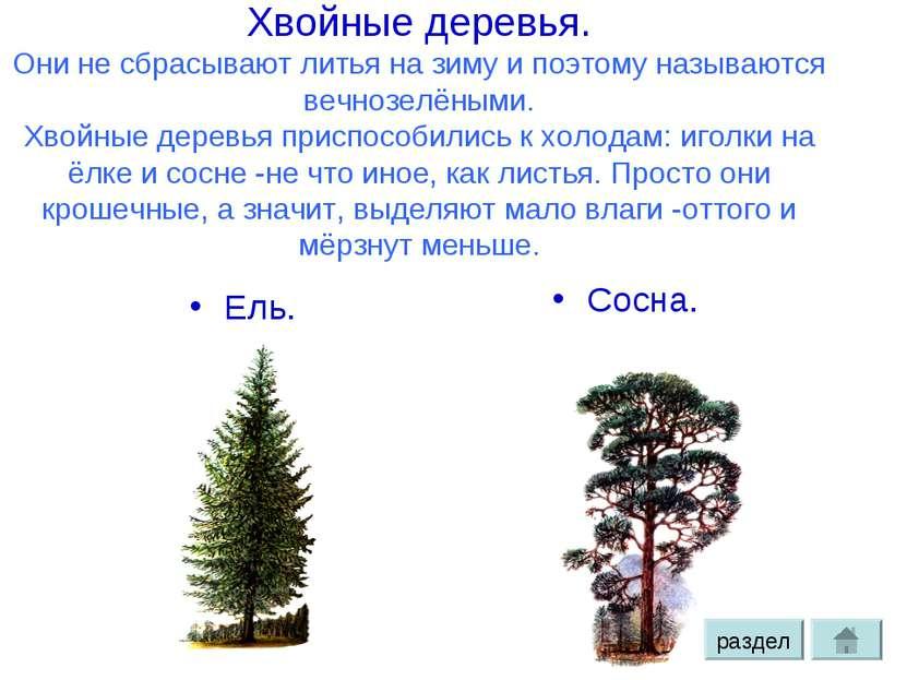 Хвойные деревья. Они не сбрасывают литья на зиму и поэтому называются вечнозе...