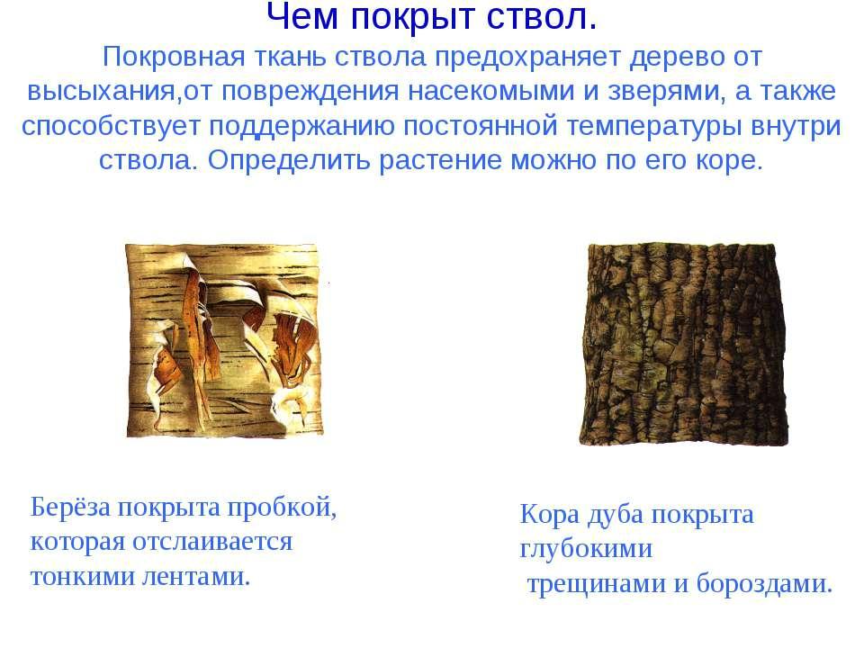Чем покрыт ствол. Покровная ткань ствола предохраняет дерево от высыхания,от ...