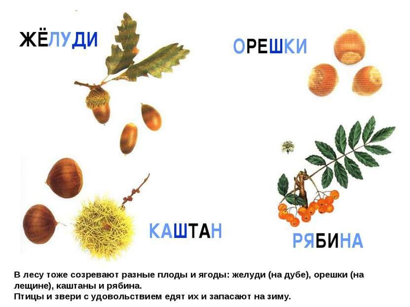 В лесу тоже созревают разные плоды и ягоды: желуди (на дубе), орешки (на лещи...
