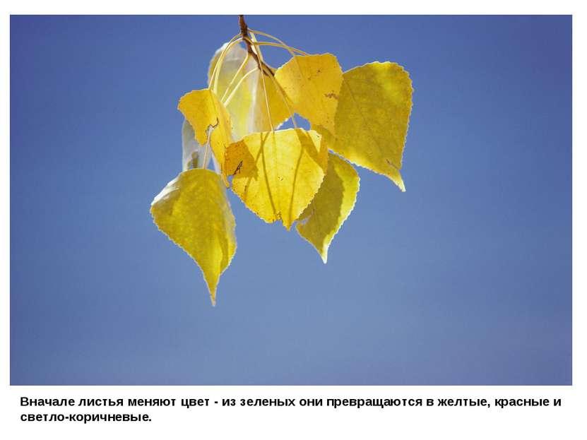 Вначале листья меняют цвет - из зеленых они превращаются в желтые, красные и ...