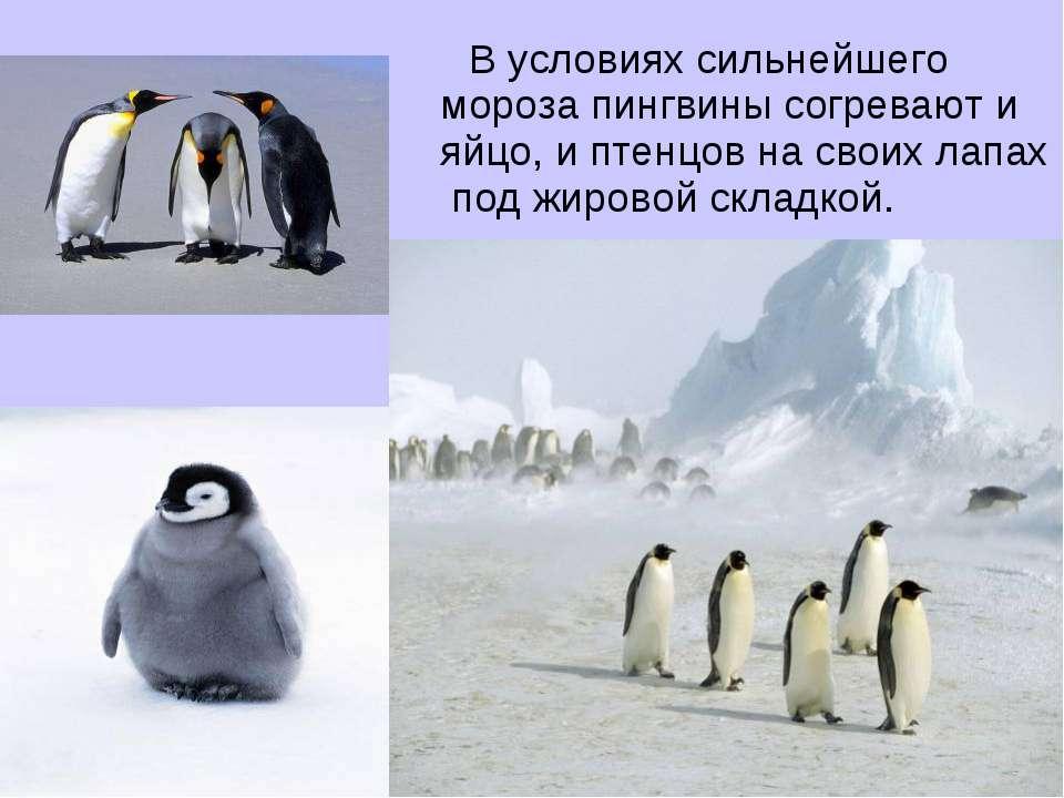 В условиях сильнейшего мороза пингвины согревают и яйцо, и птенцов на своих л...