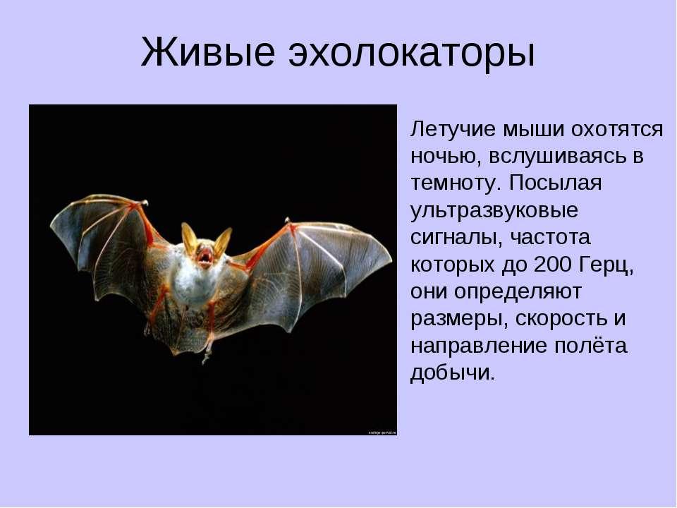 Живые эхолокаторы Летучие мыши охотятся ночью, вслушиваясь в темноту. Посылая...