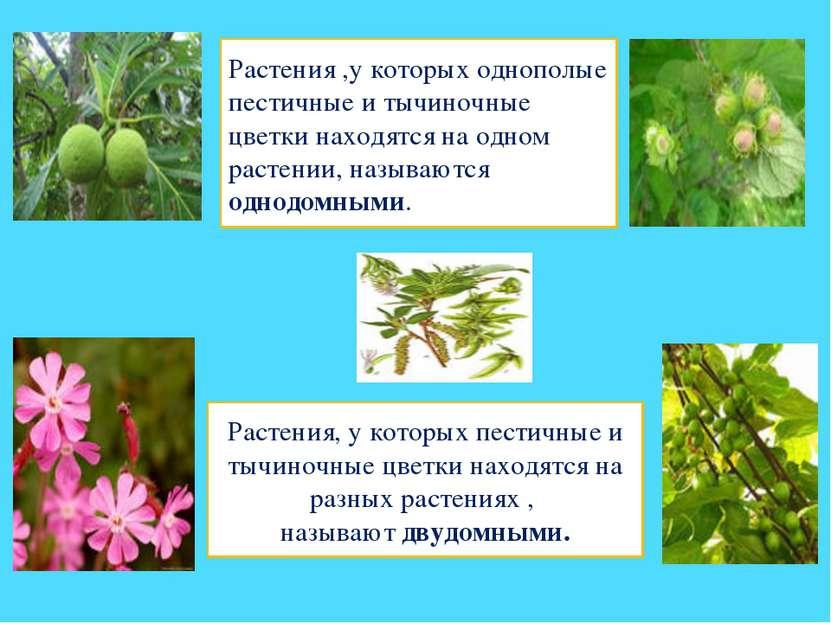 Растения ,у которых однополые пестичные и тычиночные цветки находятся на одно...