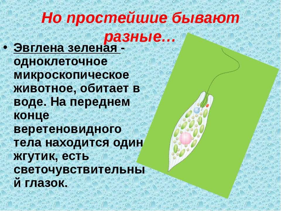 Но простейшие бывают разные… Эвглена зеленая - одноклеточное микроскопическое...