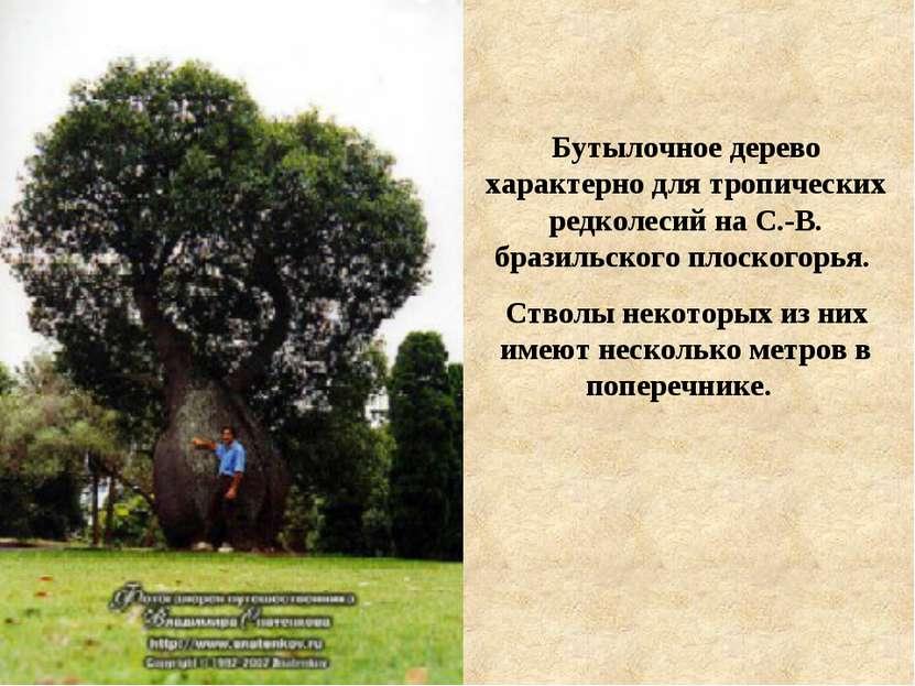 Бутылочное дерево характерно для тропических редколесий на С.-В. бразильского...