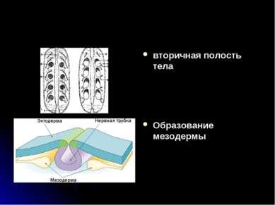 вторичная полость тела Образование мезодермы