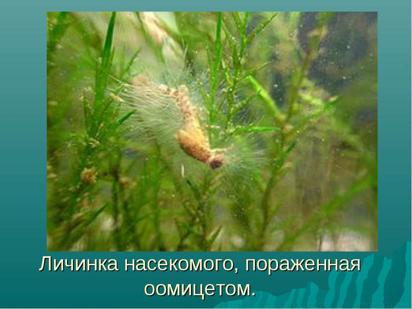Личинка насекомого, пораженная оомицетом.