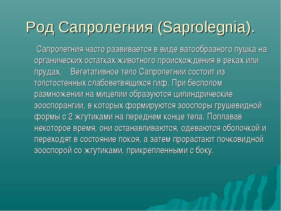 Род Сапролегния (Saprolegnia). Сапролегния часто развивается в виде ватообраз...