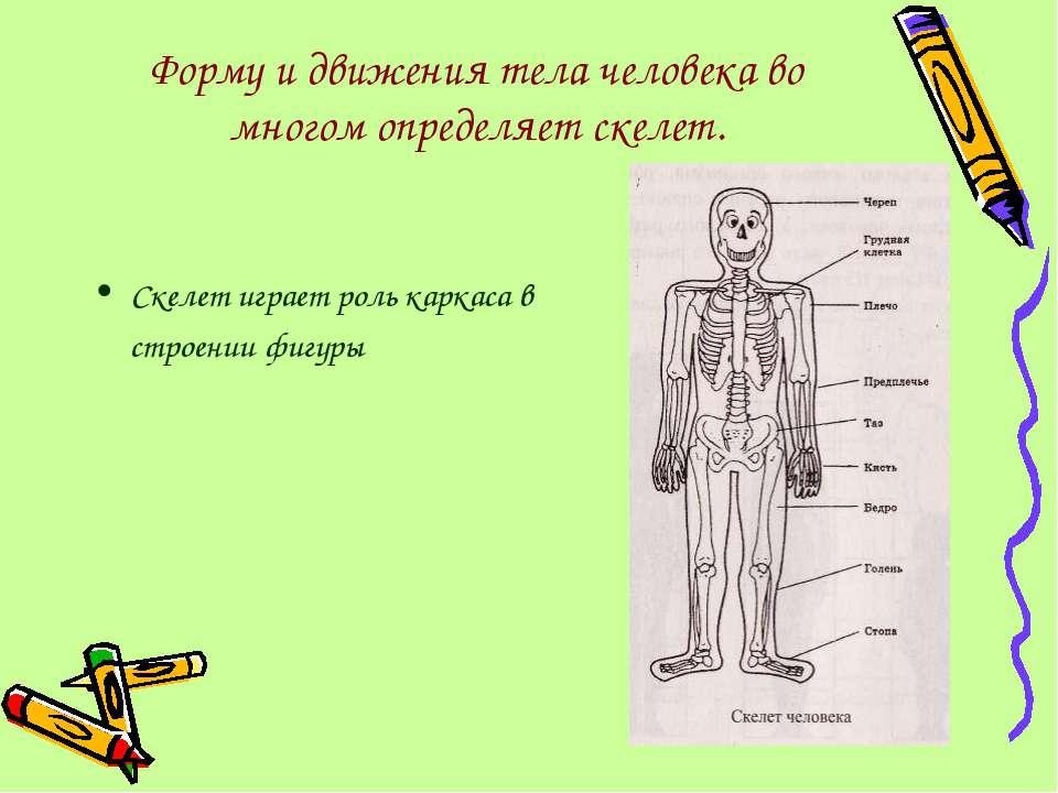 Форму и движения тела человека во многом определяет скелет. Скелет играет рол...