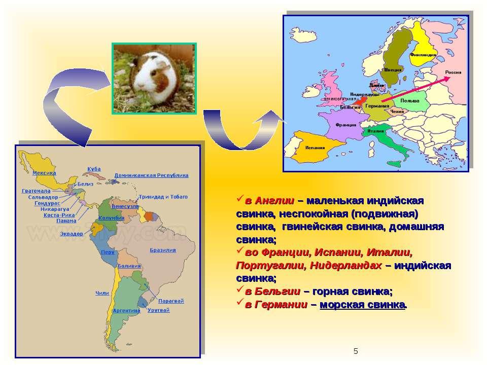в Англии – маленькая индийская свинка, неспокойная (подвижная) свинка, гвиней...