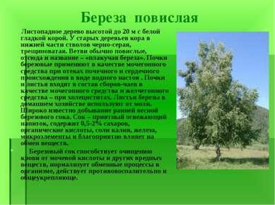 Береза повислая Листопадное дерево высотой до 20 м с белой гладкой корой. У с...