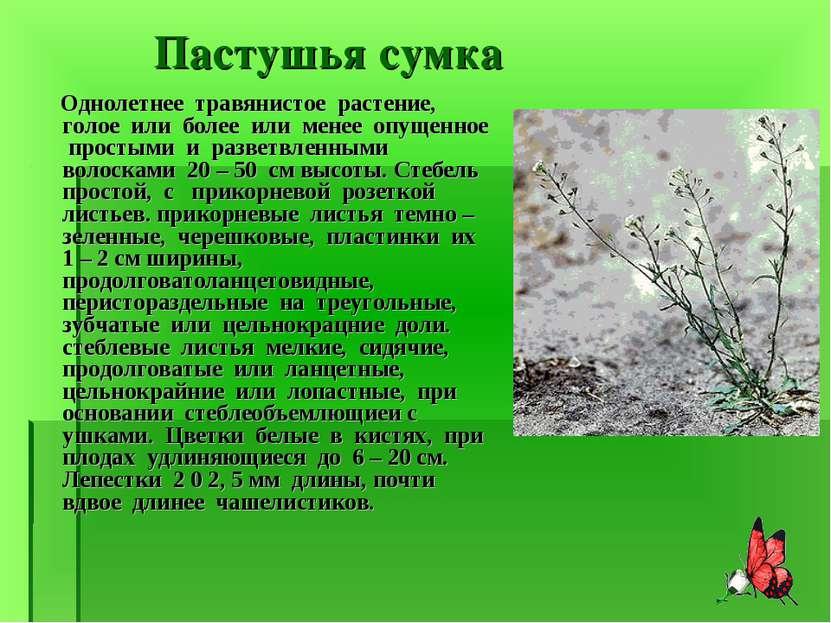 Пастушья сумка Однолетнее травянистое растение, голое или более или менее опу...