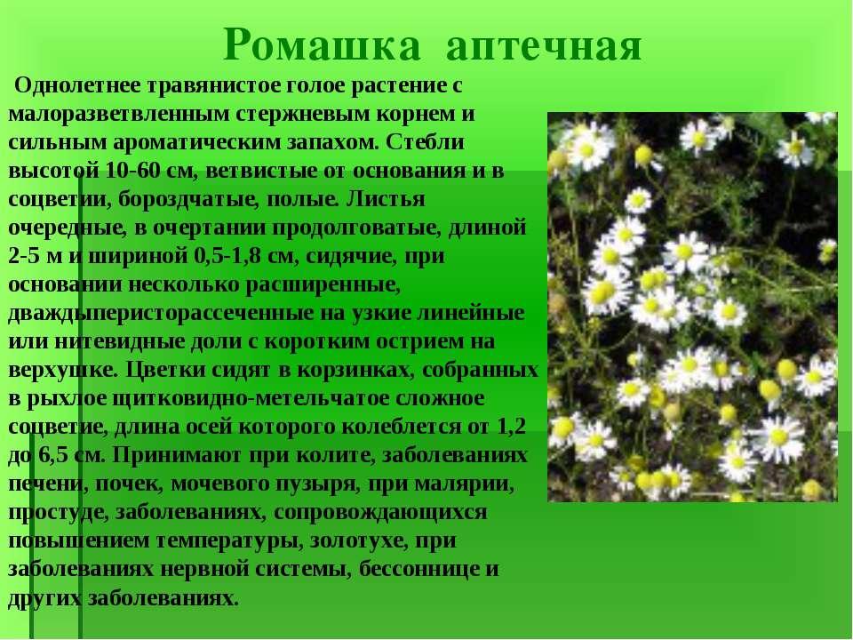 Ромашка аптечная Однолетнее травянистое голое растение с малоразветвленным ст...