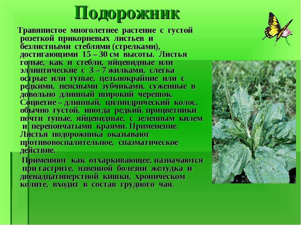 Подорожник Травянистое многолетнее растение с густой розеткой прикорневых лис...